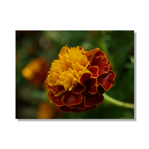 Solitude Marigold Canvas Print